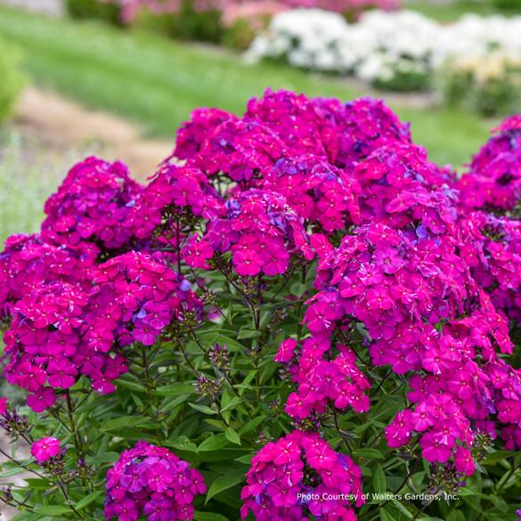 Phlox paniculata Luminary™ 'Ultraviolet' main