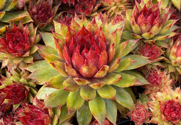 Sempervivum Chick Charms® Pineapple Paradise™