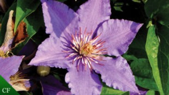 Clematis 'Eyers Gift™