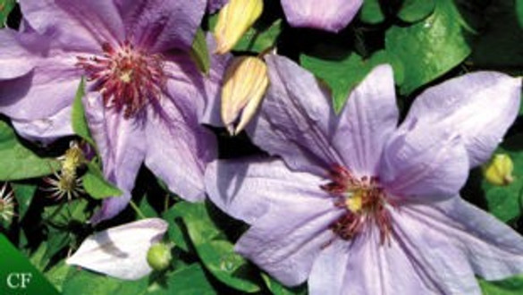 Clematis 'Minister™'
