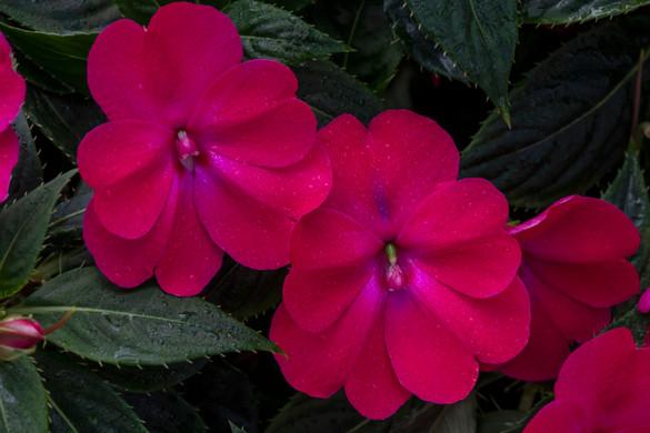Impatiens Sunpatiens ® Compact Rose Glow