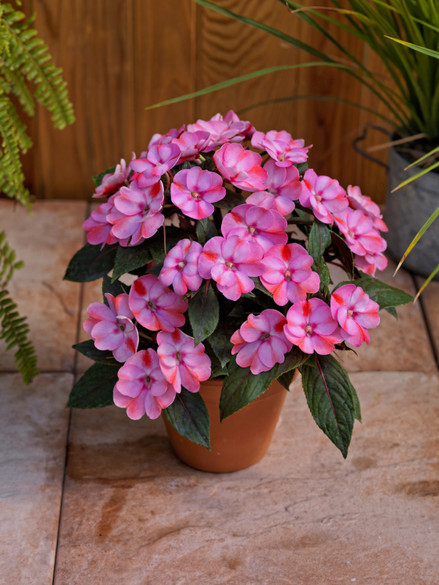Impatiens Sunpatiens® Compact Pink Candy pot