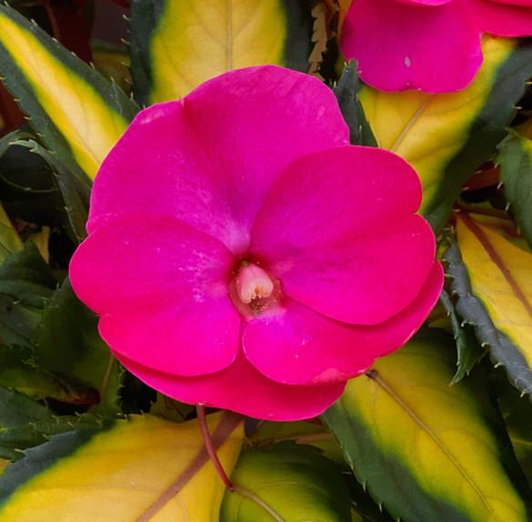 Impatiens Sunpatiens® Compact Tropical Rose bloom