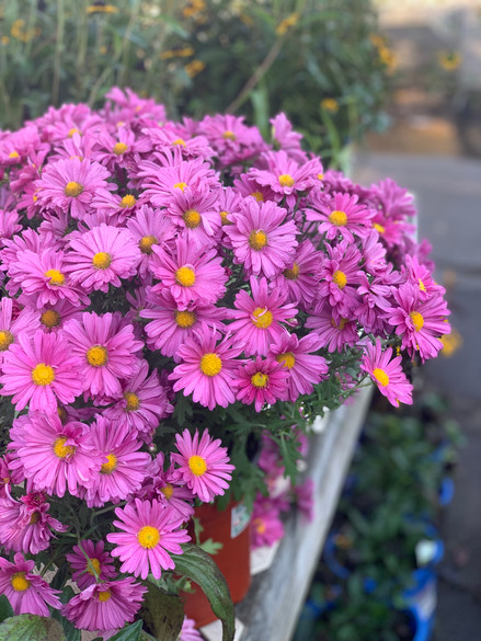 Chrysanthemum 'Mammoth™ Lavender Daisy