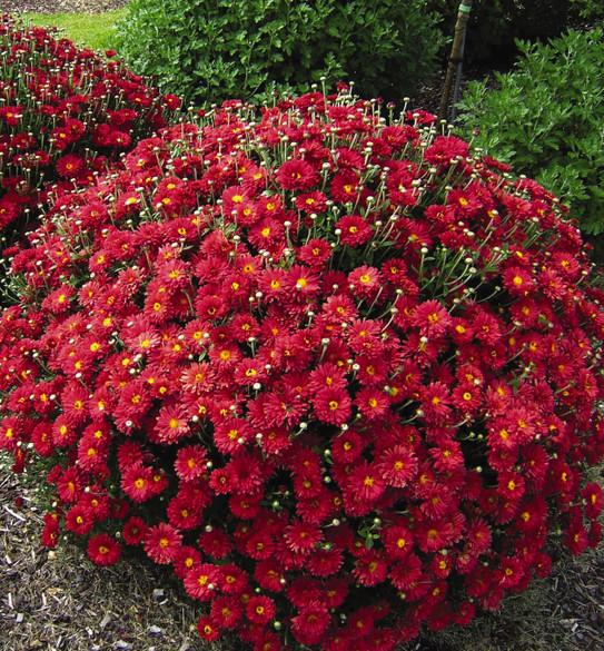 Chrysanthemum 'Mammoth™ Red Daisy
