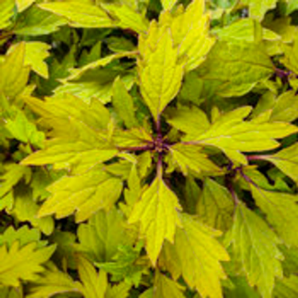 Coleus Solenostemon scutellarioides 'ColorBlaze® Royale Pineapple Brandy™'