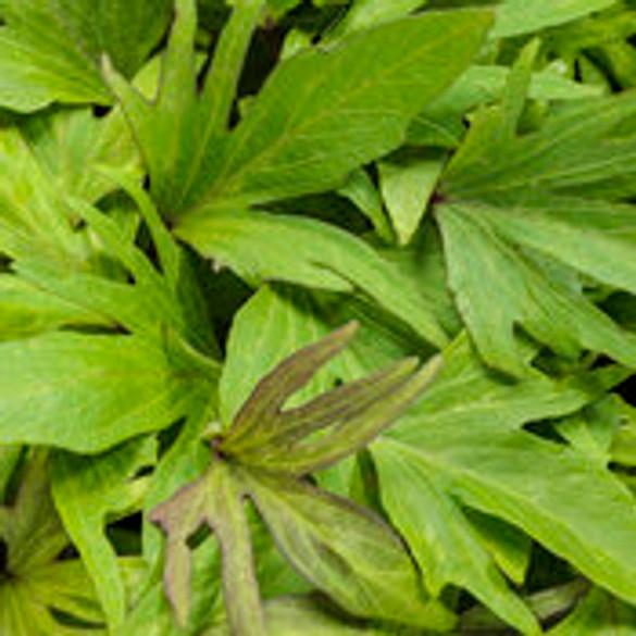 Ipomoea batatas 'Sweet Caroline Medusa™ Green' foliage