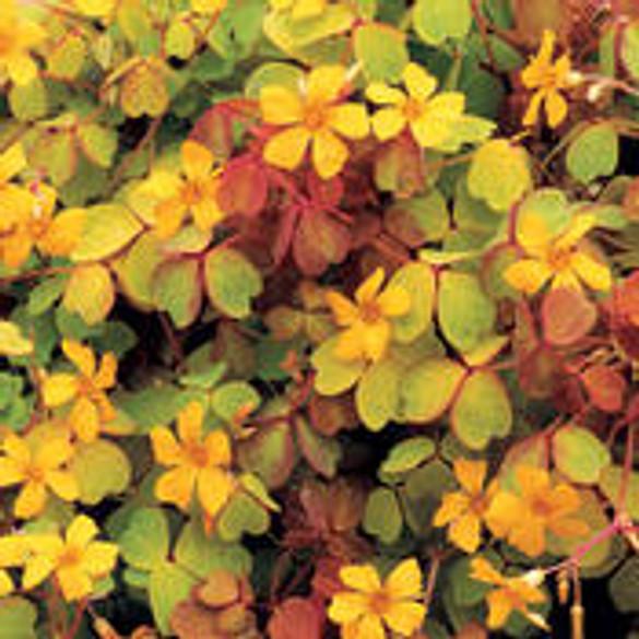 Oxalis vulcanicola 'Molten Lava™' foliage