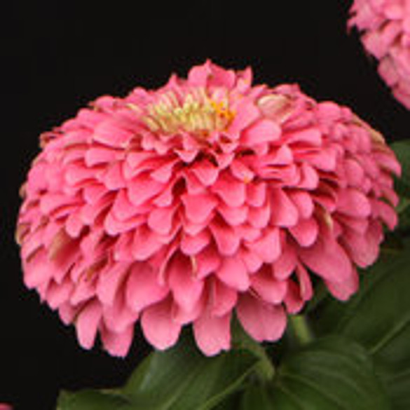 Zinnia hybrid Sweet Tooth Cotton Candy bloom