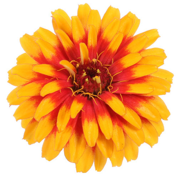 Zinnia elegans 'Sweet Tooth™ Candy Corn'