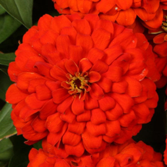 Zinnia hybrid Sweet Tooth Licorice