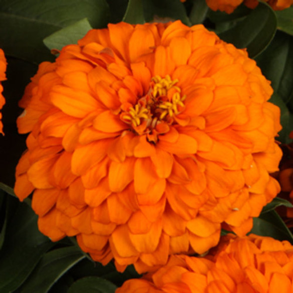 Zinnia hybrid Sweet Tooth Orange Slice'