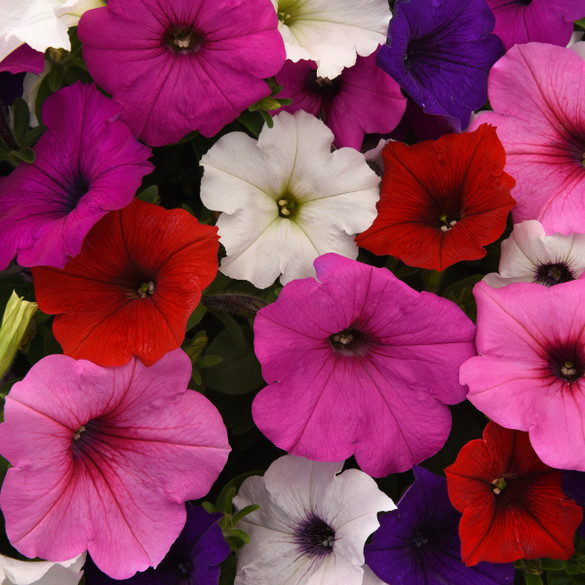 Petunia 'Easy Wave® Formula Mix'