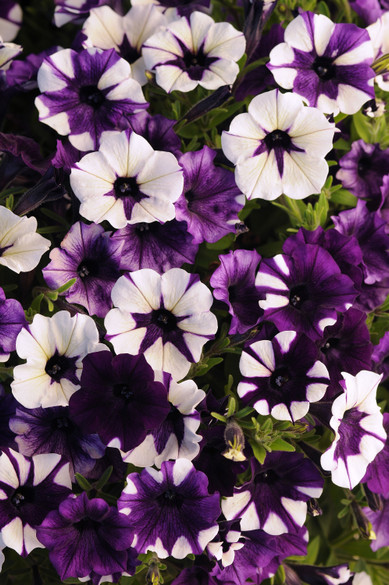 Petunia 'Shock Wave® Purple Tie Dye'