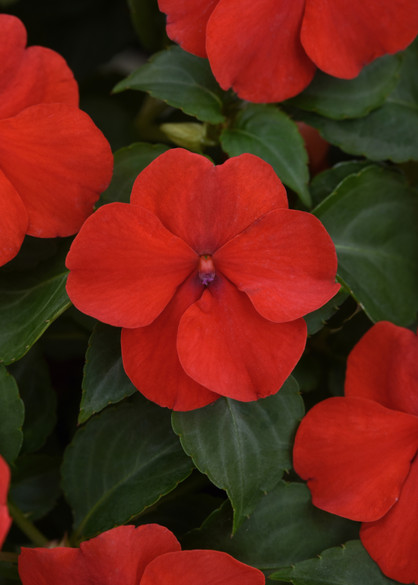 Impatiens walleriana 'Beacon® Bright Red' bloom