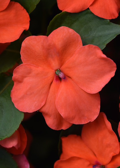 Impatiens walleriana 'Beacon® Salmon'