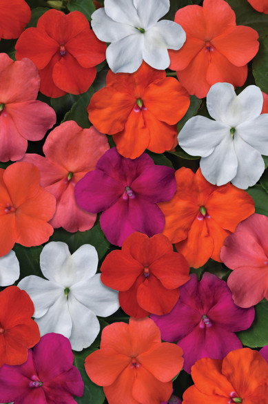 Impatiens walleriana 'Beacon® Select Mix' bloom