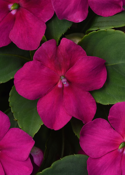Impatiens walleriana 'Beacon® Violet Shades' bloom