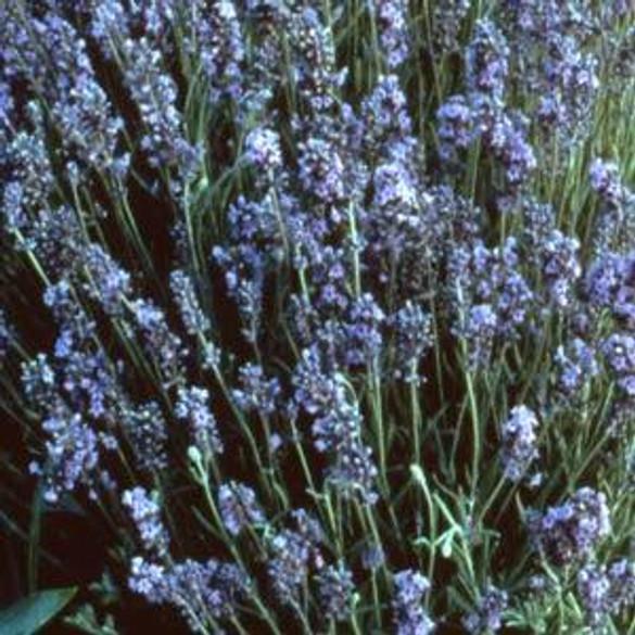 Lavender - Lady (Herb)