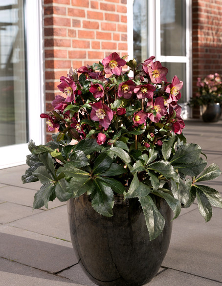 Helleborus Gold Collection® Ice N' Roses® Red