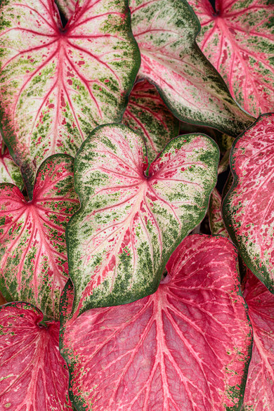 Caladium hortulanum Heart To Heart™ 'Blushing Bride'