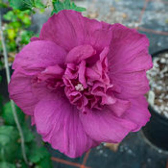 Hibiscus 'Magenta Chiffon®'