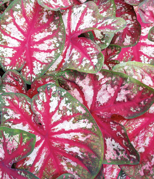 Caladium hortulanum Heart To Heart™ 'Bottle Rocket'