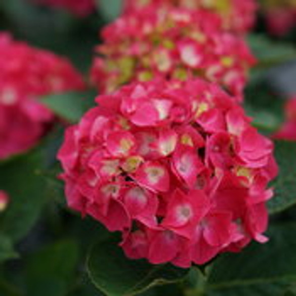 Hydrangea 'Wee Bit Giddy®' bloom