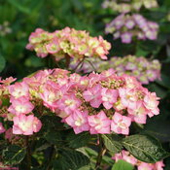 Hydrangea 'Let's Dance Can Do™