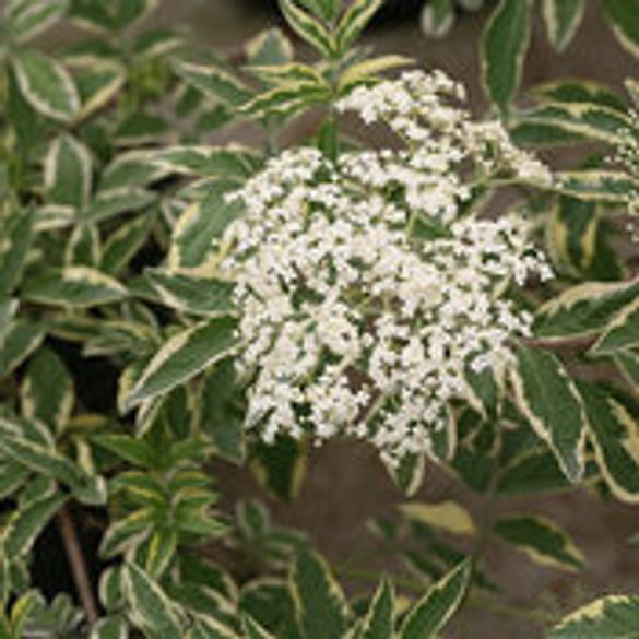 Sambucus nigra 'Instant Karma®' bloom