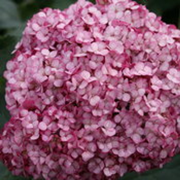Hydrangea arborescens 'Invincibelle® Mini Mauvette®' bloom
