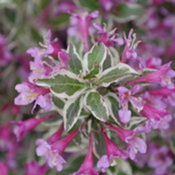 Weigela florida 'My Monet Purple Effect®'