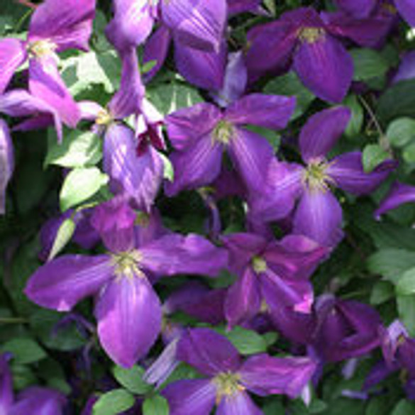 Clematis 'Happy Jack® Purple' bloom