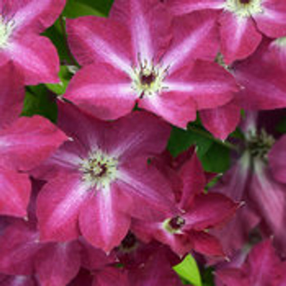 Clematis 'Viva Polonia' bloom