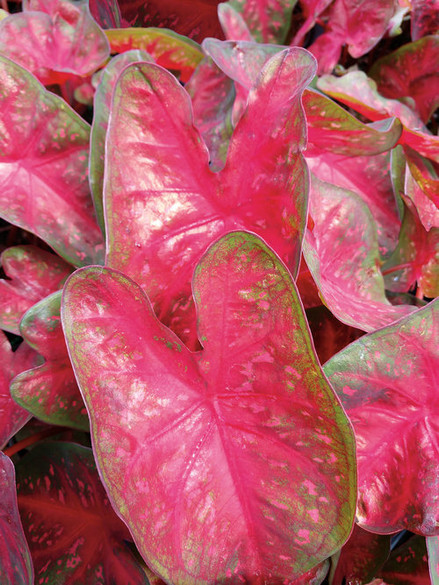 Caladium hortulanum Heart To Heart™ 'Fast Flash'