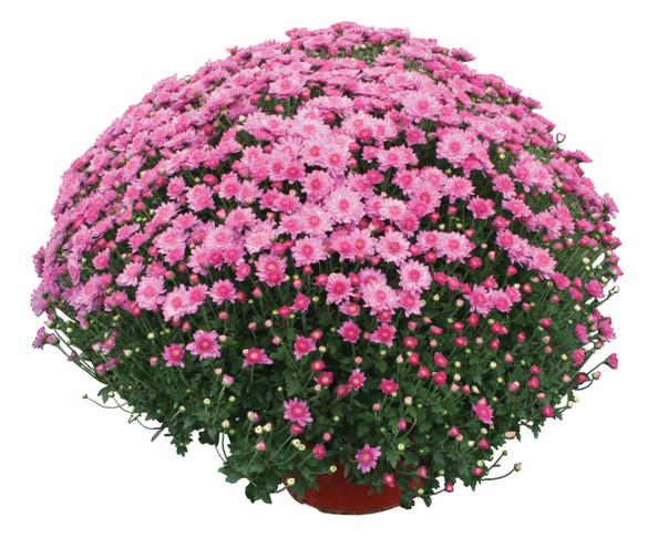 Chrysanthemum 'Chelsey™ Pink'