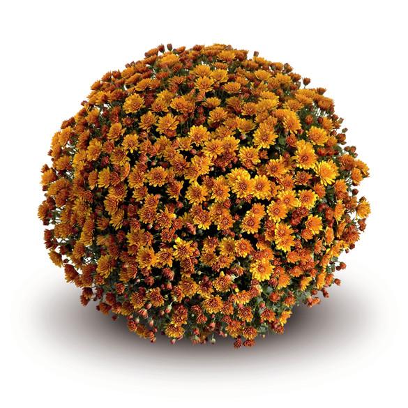 Chrysanthemum 'Conello Orange