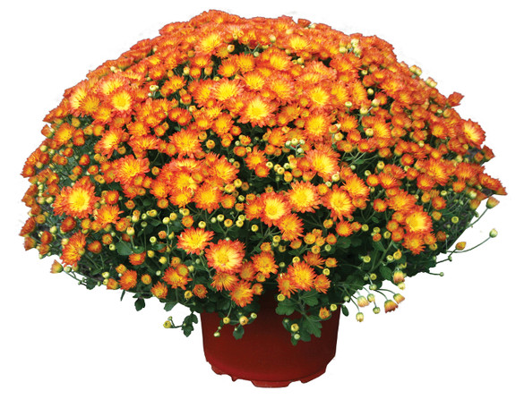 Chrysanthemum 'Dazzling Stacy™ Orange'