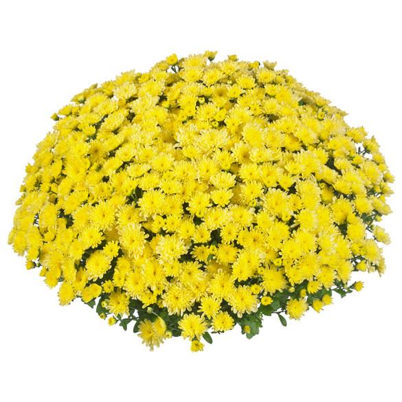 Chrysanthemum 'Vitamum™ Ditto Lemon'