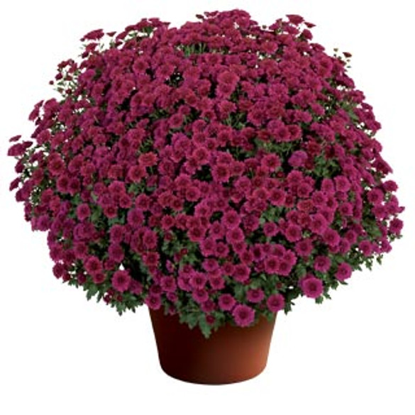 Chrysanthemum 'Cheryl™ Regal Purple'