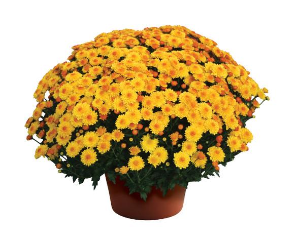 Chrysanthemum 'Cheryl™ Golden'