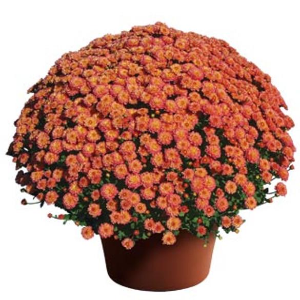 Chrysanthemum Gigi™ Coral