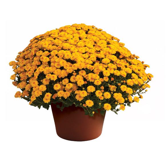 Chrysanthemum 'Gigi™ Gold' - 10 Inch Pot