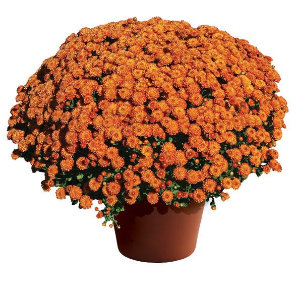 Chrysanthemum Gigi™ Orange