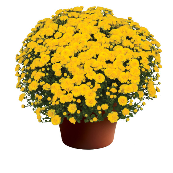 Chrysanthemum Gigi™ Yellow