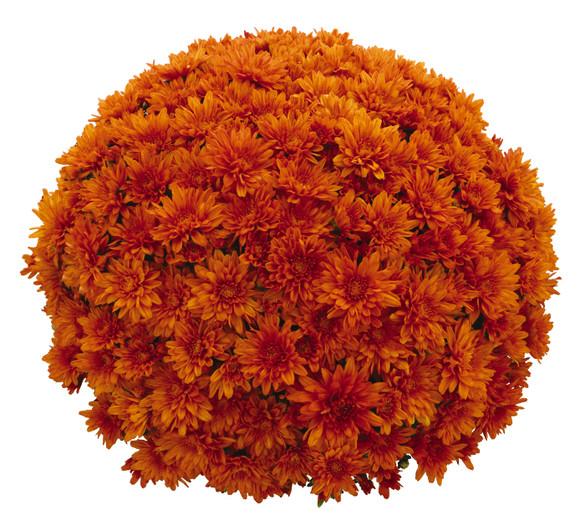 Chrysanthemum Goal Orange / Magnum Orange