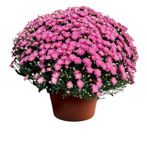 Chrysanthemum Jacqueline™ Pink