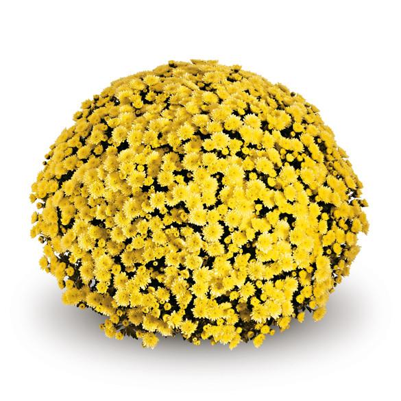 Chrysanthemum 'Belgian Mums® Jasoda Yellow'