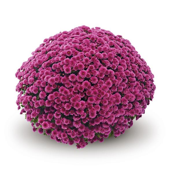 Chrysanthemum 'Belgian Mums® Jasoda Purple'