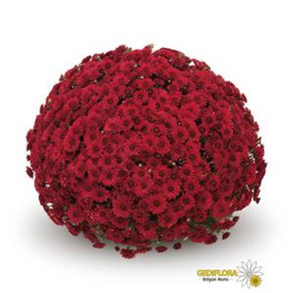 Chrysanthemum 'Belgian Mums® Lava Red'